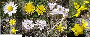 Flowers growing in the high mountain areas of the Parque Natural de Peñalara. Left: Crocus sp. Right: Narcissus cf. bulbicoides