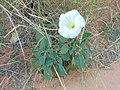 Flower in South Campground, ZIon National Park, close up, Oct 16.jpg