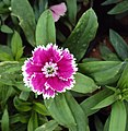Flowers - Uncategorised Garden plants 154.JPG