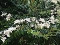 Flowers of Ligustrum lucidum 20160306.jpg