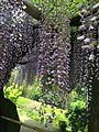 Flowers of wisteria in Kawachi Wisteria Garden 20150509-3.jpg