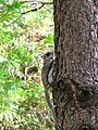 Flying Squirrel Released Back to Nature (8551613859).jpg