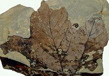 platanus fossil