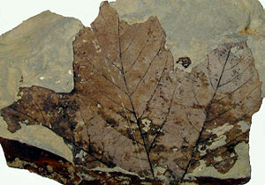 Paskapoo Formation - Fossil Platanus leaf from the Paskapoo Formation near Red Deer.