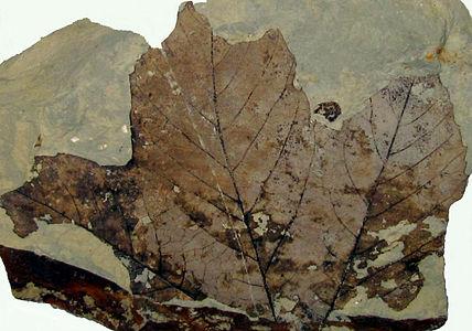 Fossil Platanus leaf