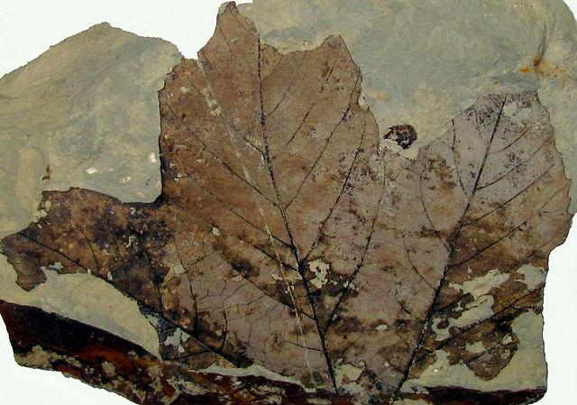 Skamenelina listu platana z treťohôr