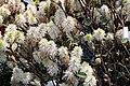 Fothergilla gardenii Mt. Airy 8zz.jpg