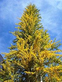 Fouquieria-columnaris-20080330-2