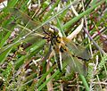 Four-spotted Chaser. Female. Libellula quadrimaculata - Flickr - gailhampshire.jpg