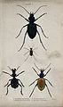 Four insects. Coloured engraving by W. H. Lizars. Wellcome V0020754EL.jpg