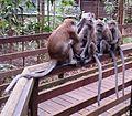 Four monkeys.jpg