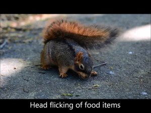 Fitxer:Fox-Squirrels-Match-Food-Assessment-and-Cache-Effort-to-Value-and-Scarcity-pone.0092892.s003.ogv