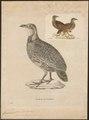 Francolinus levaillantii - 1700-1880 - Print - Iconographia Zoologica - Special Collections University of Amsterdam - UBA01 IZ17100029.tif