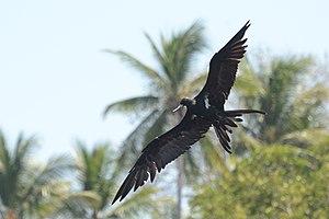 Lesser frigatebird - Image: Fregata ariel Labuan Tawoa Batuputih (2)