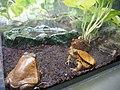 Frog, Sunshine Aquarium 02.jpg