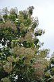 Fruits and Leaves - Tectona Grandis - Hijli - West Midnapore 2015-09-28 4153.JPG