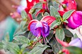 Fuchsia European Uprights Rosa Beacon 0zz.jpg