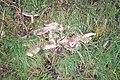 Fungi in Hedge near Stanwell Corner, Llanteg - geograph.org.uk - 1030240.jpg