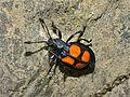 Fungus Beetle (Eumorphus sp.) (6985052764).jpg
