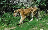 GIPE25 - Tiger (by).jpg