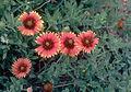 Gaillardia-pulchella01.jpg