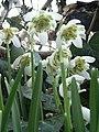 Galanthus nivalis f. pleniflorus 4 - geograph.org.uk - 1165844.jpg