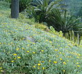 Gazania rigens uniflora KirstenboschBotGard09292010A.jpg