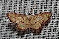 Geometridae (14947232957).jpg