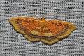 Geometridae (15026111337).jpg