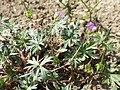 Geranium columbinum sl4.jpg