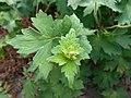 Geranium wlassovianum 2017-06-25 3213.jpg