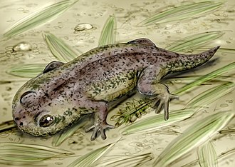 Lissamphibia - Reconstruction of Gerobatrachus, possible ancestor of salamanders and frogs