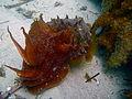 Giant Cuttlefish-Sepia apama (8597267078).jpg