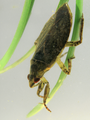 Giant Water Bug 2 (5928165970).png