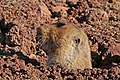 Giant mole-rat (Tachyoryctes macrocephalus).jpg