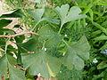 Ginkgo biloba feuilles 2.JPG