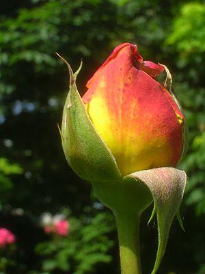 Rosa Peace - 'Mme A. Meilland' bud