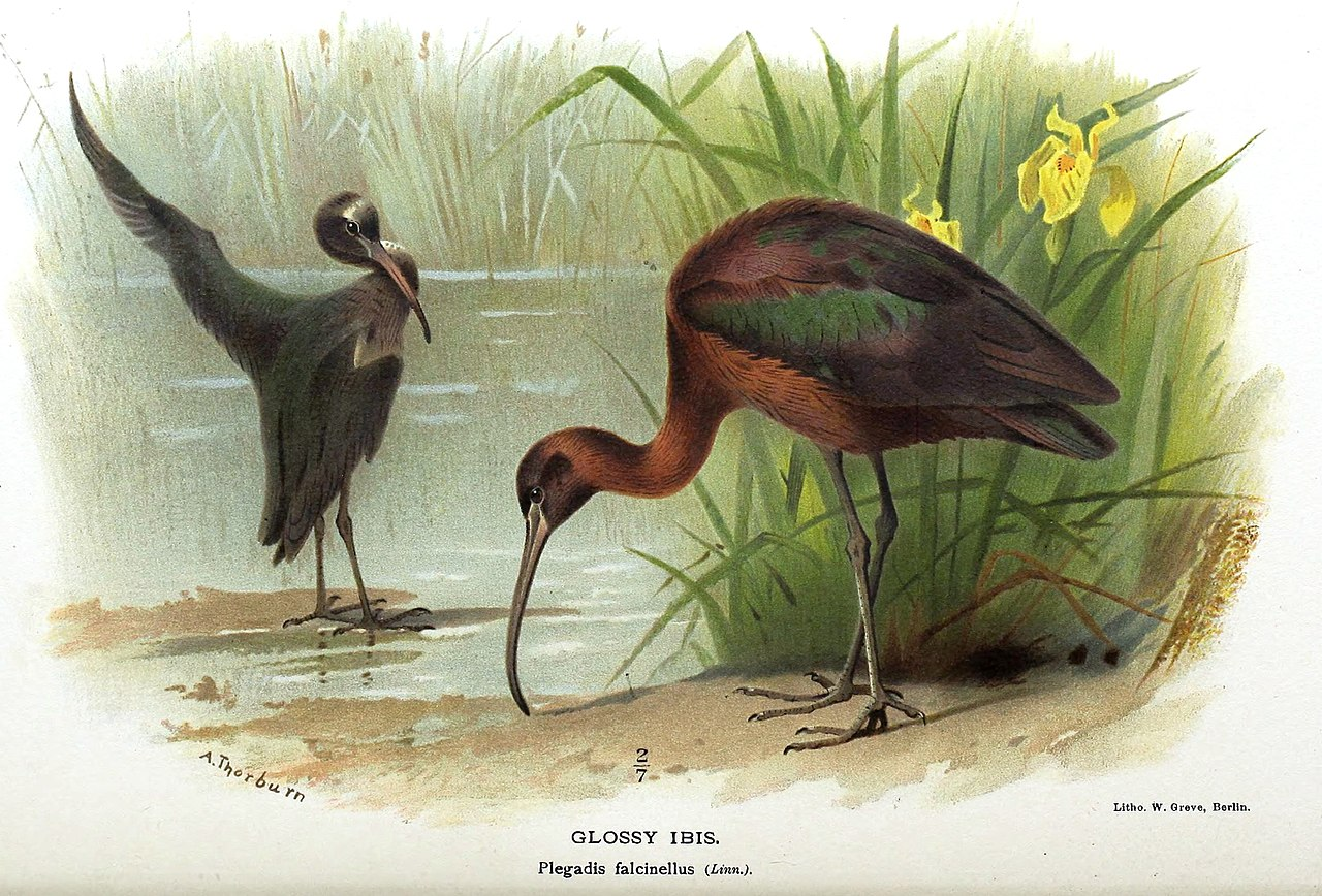 Glossy Ibis Thorburn.jpg