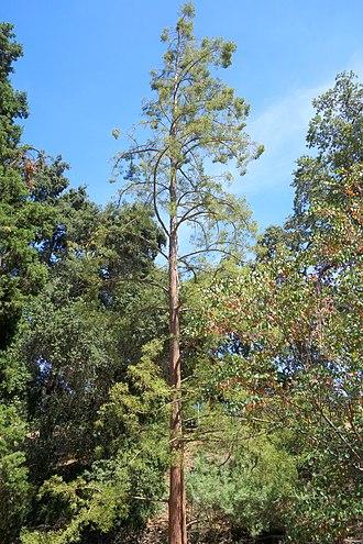 Taxodioideae - Image: Glyptostrobus pensilis UC Davis Arboretum DSC03384