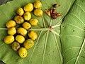 Gmelina arborea Fruit seed (3) 03.jpg