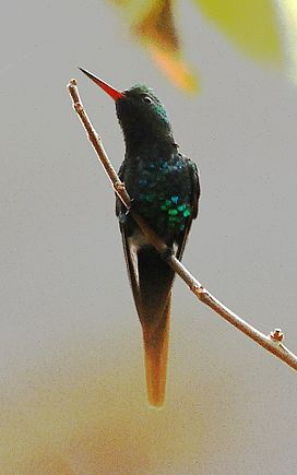 Golden-crowned Emerald.jpg