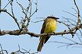 Golden-crowned Flycatcher - Atrapamoscas Corona Dorada (Myiodynastes chrysocephalus cinerascens) (11916860414).jpg