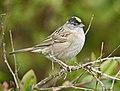 Golden-crowned Sparrow DSC4662.jpg