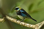 Golden-hooded Tanager - Panama H8O9777 (22882477279).jpg