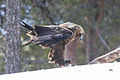 Golden Eagle (Aquila chrysaetos) (13667935303).jpg