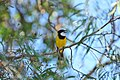 Golden Whistler singing.jpg