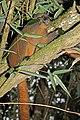 Golden bamboo lemur (Hapalemur aureus) feeding 2.jpg
