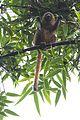 Golden bamboo lemur Hapalemur aureus (15881773866).jpg
