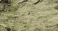 Golden eagle (Aquila chrysaetos) JEG9484.jpg