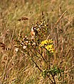 Goldfinch and Ragwort.jpg